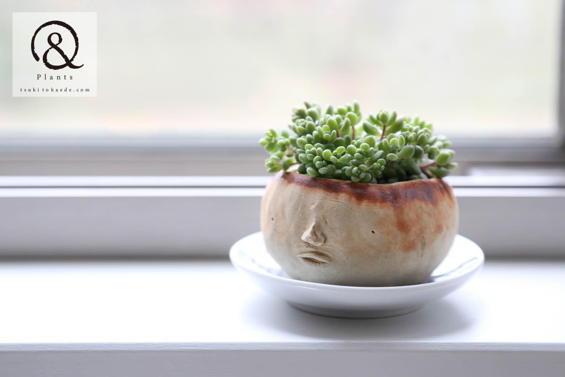 多肉植物 ダシフィルムリファレンス