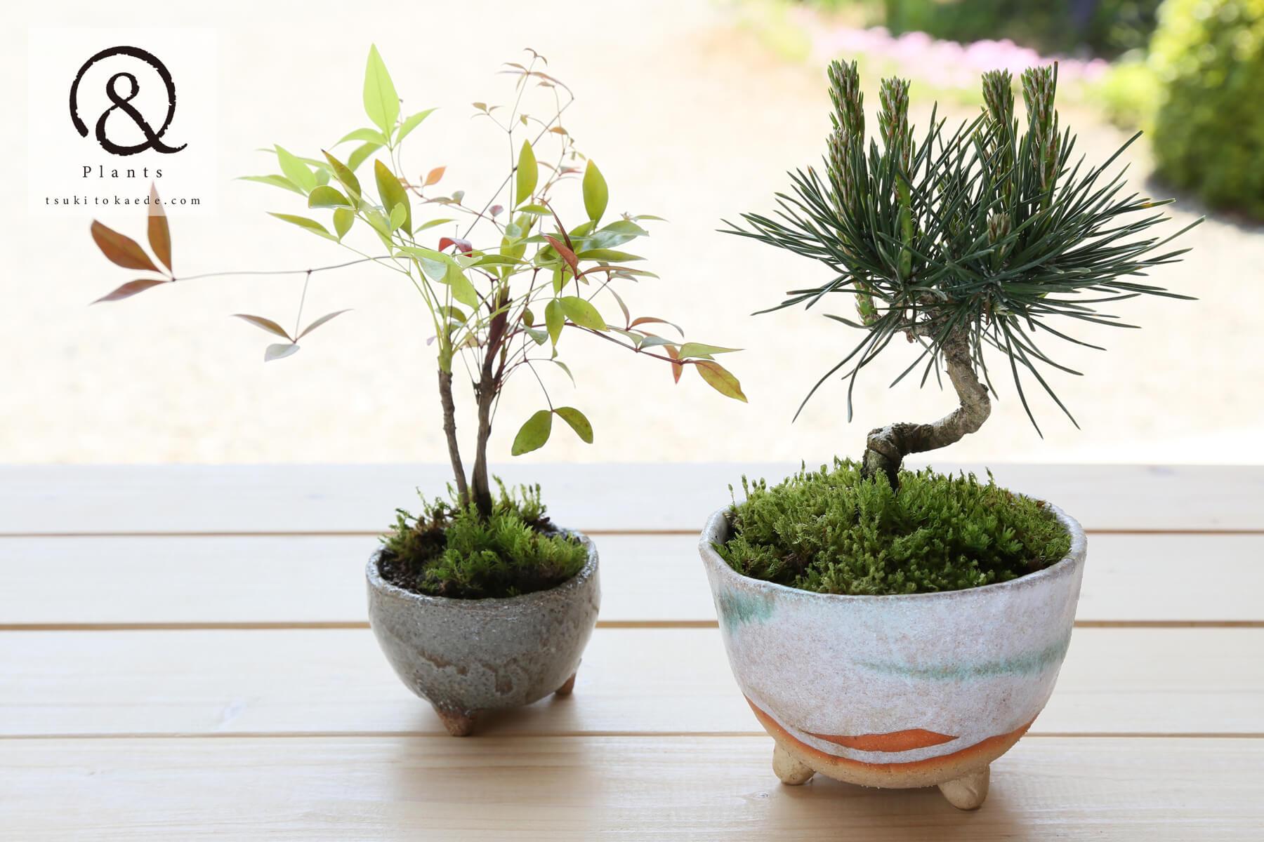 ミニ盆栽 松と南天