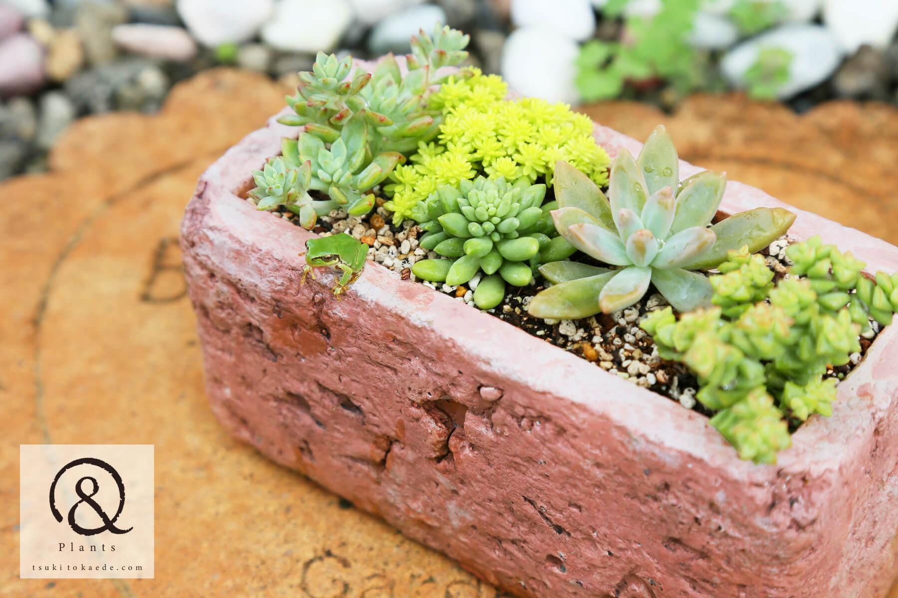 多肉植物の寄せ植えと雨蛙